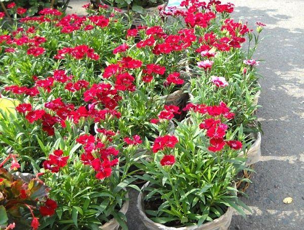 Tổng hợp các loại hoa chưng ngày tết